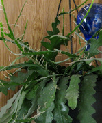 25th May 2014 - Ric Rac Cactus