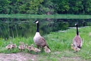 26th May 2014 - Mother Goose...