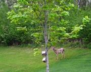 27th May 2014 - Oh deer!!