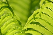 27th May 2014 - Fun with Ferns