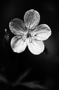 27th May 2014 - Geranium in Black and White