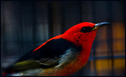 27th May 2014 - Scarlet Honeyeater (male)