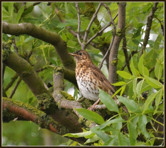Song thrush by rosiekind
