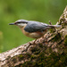 Nuthatch 28-05 by barrowlane