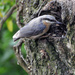 Nuthatch at Symonds Yat Rock