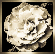 28th May 2014 - Burnished Rose