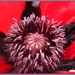 Giant red poppy by busylady