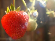 28th May 2014 - strawberry sunflares forever