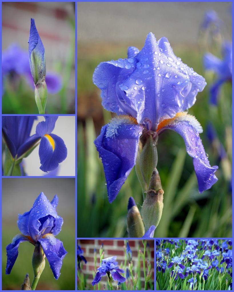Iris Collage by genealogygenie