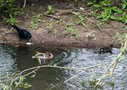 30th May 2014 - Feeding the ducks - 30-05