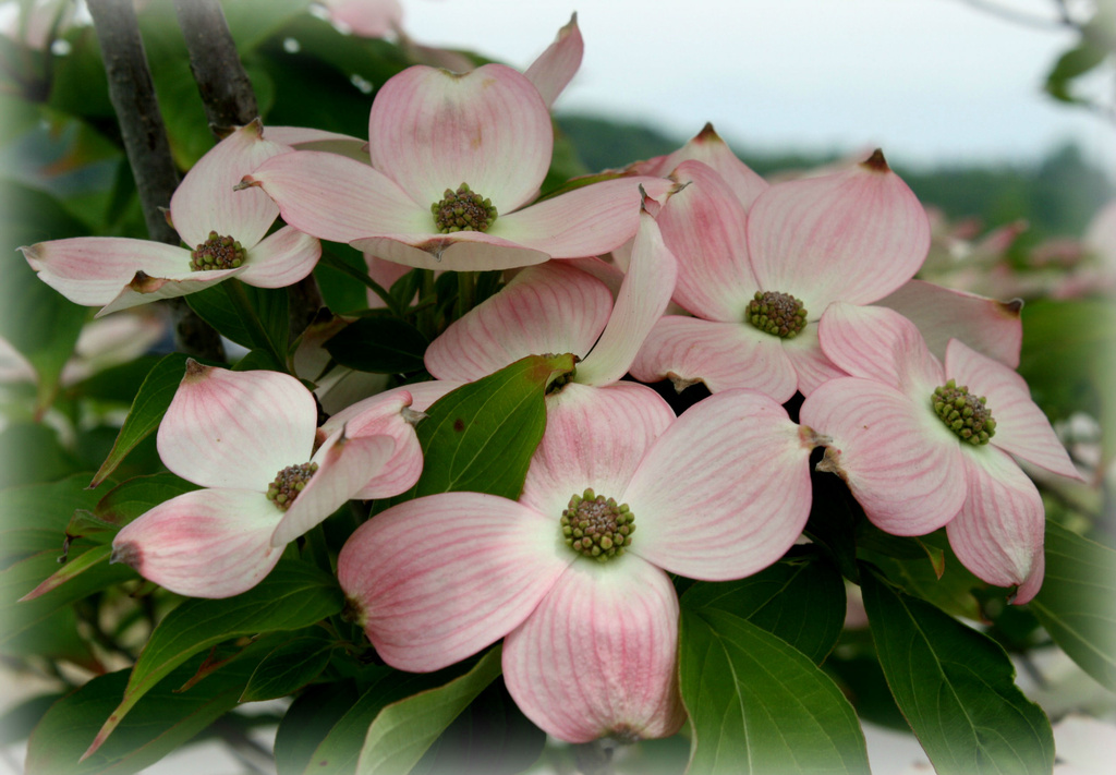 Dogwood blossoms by mittens