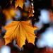 Golden leaf! by fayefaye