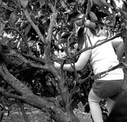 21st May 2014 - Climbing for mandarins
