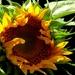 Good Day Sunshine by grammyn