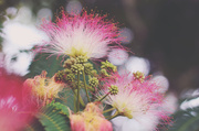 31st May 2014 - Mimosa in Matte