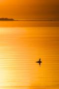 31st May 2014 - Eagle On Golden Pond