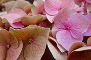 1st Jun 2014 - Out of time hydrangea