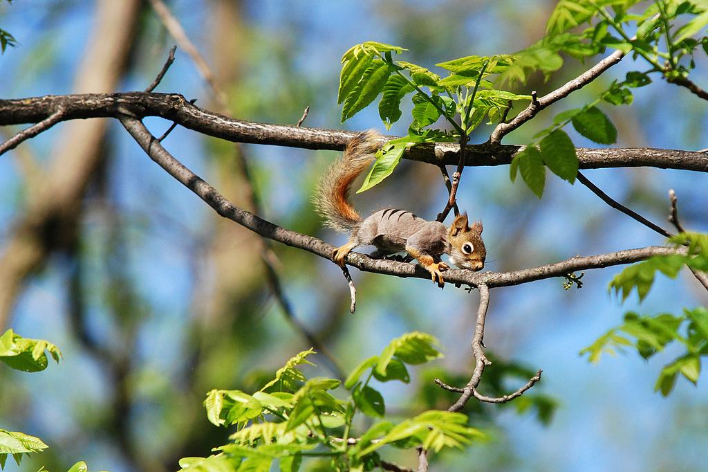 Baby red squirrel! by fayefaye