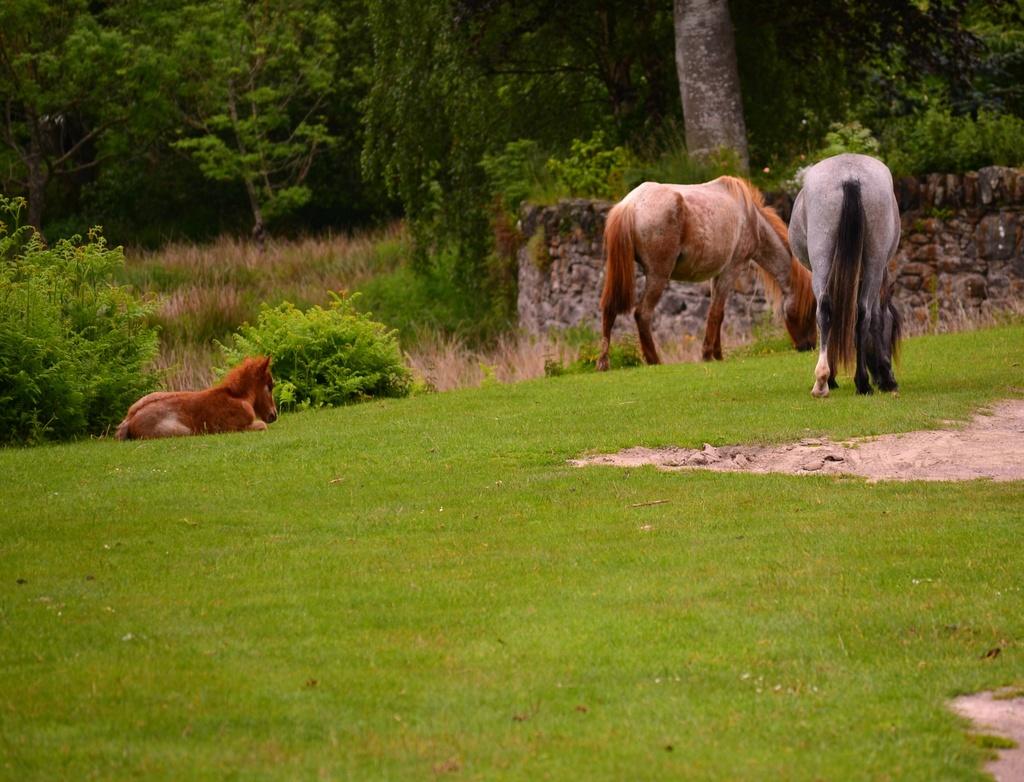 Wild Carneddau ponies  by ziggy77