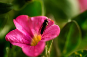 1st Jun 2014 - Pink flower with insect