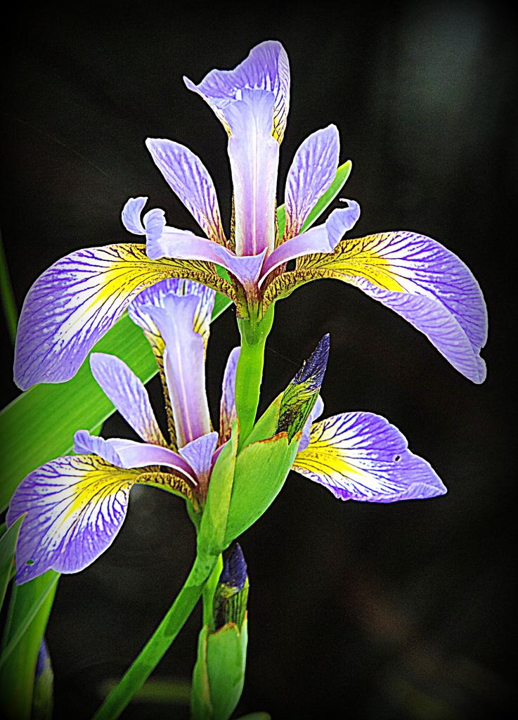 Iris beauty! by homeschoolmom
