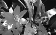 26th May 2014 - Winter flower buds