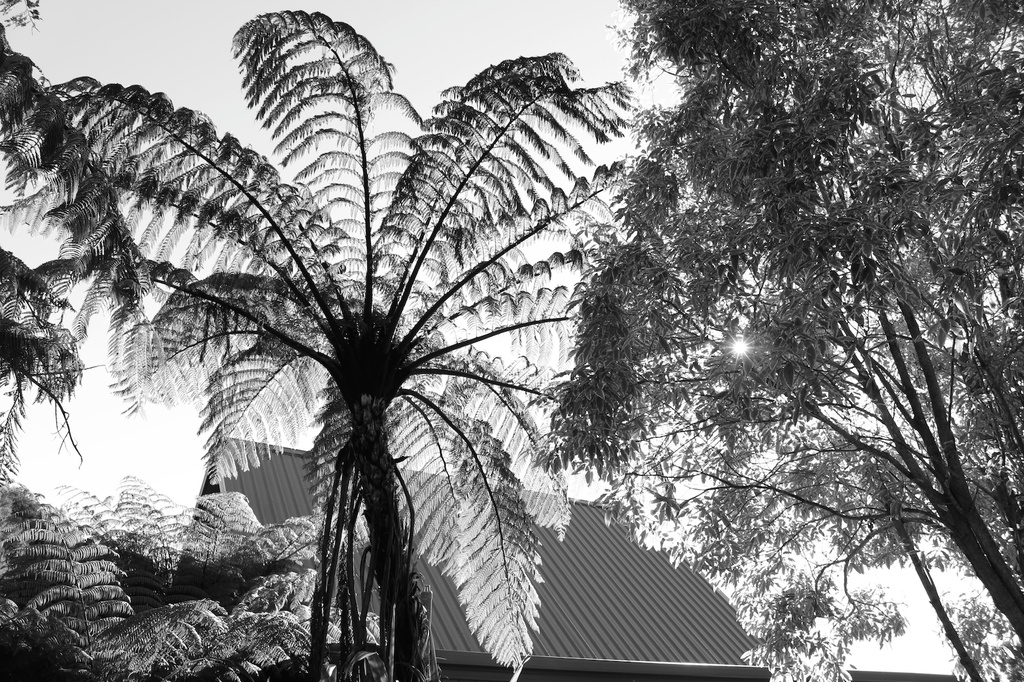 Sunflared tree fern by kiwinanna