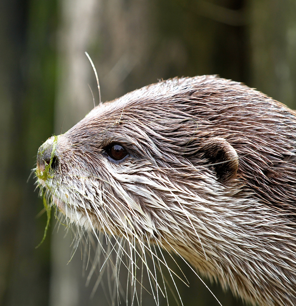 Otter at Paradise Wildlife Park with weed on nose!! by padlock