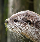 2nd Jun 2014 - Otter at Paradise Wildlife Park with weed on nose!!