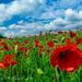 Poppy Field  by tonygig