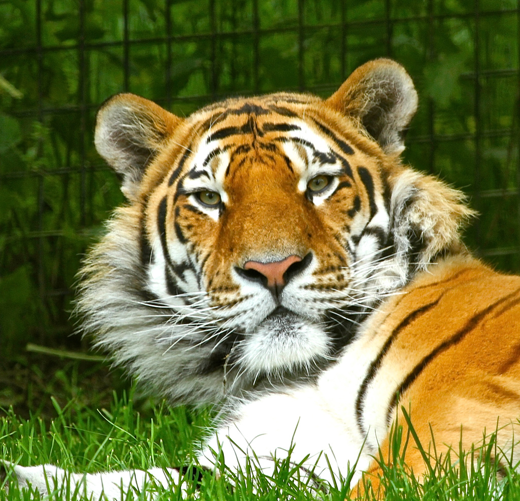 Amur Tiger by padlock