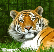 3rd Jun 2014 - Amur Tiger