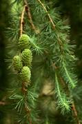 3rd Jun 2014 - Fresh Pine Cones