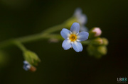 3rd Jun 2014 - Forget-Me-Not