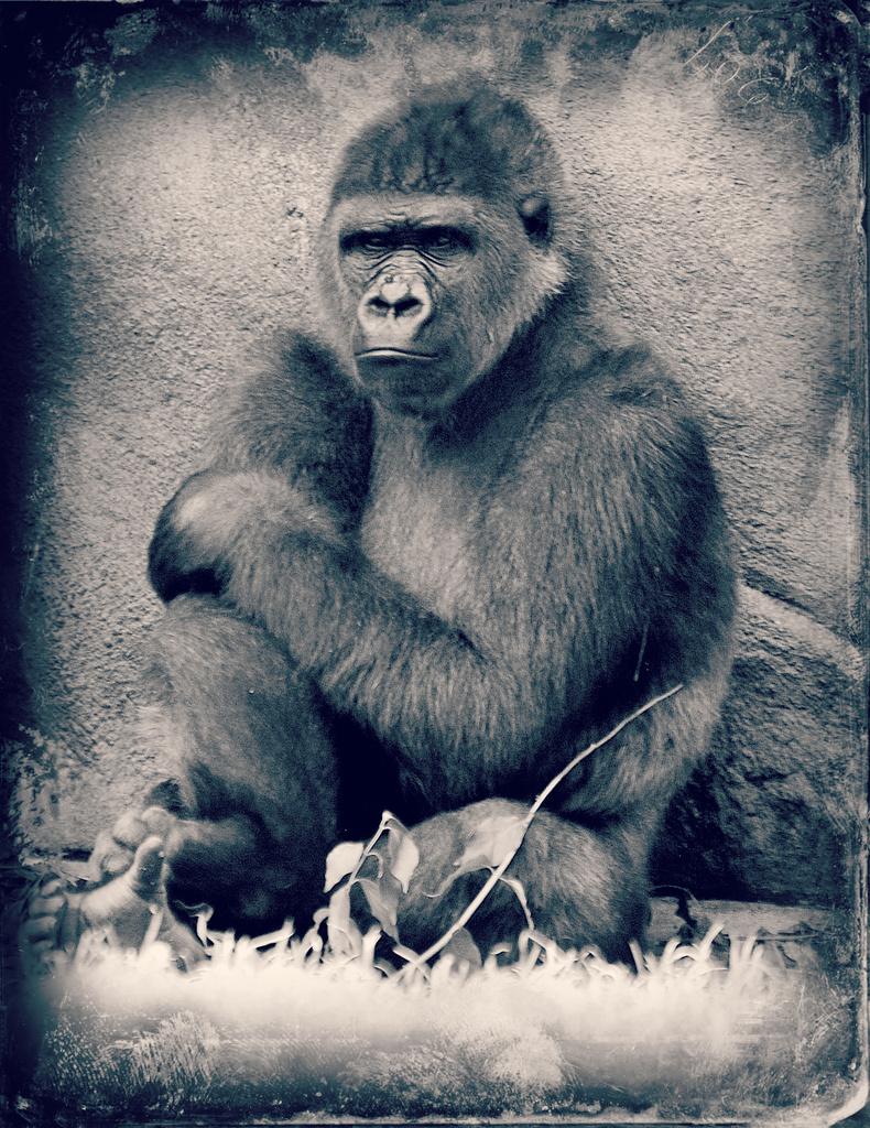Grumpy Gorilla by alophoto