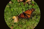 4th Jun 2014 - Butterfly