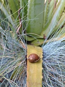 4th Jun 2014 - King of the Aloe