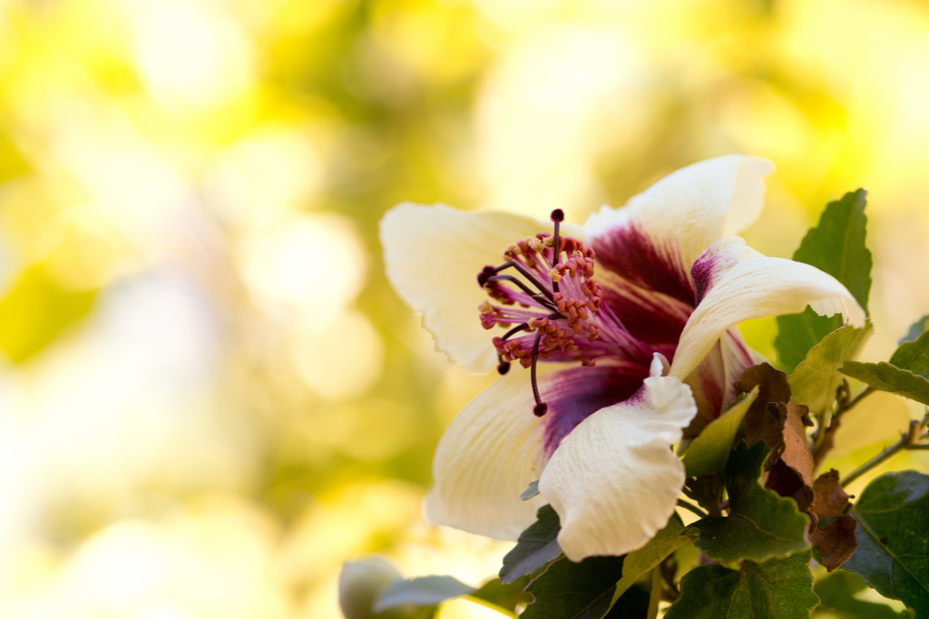 Phillip Island Hibiscus by bella_ss