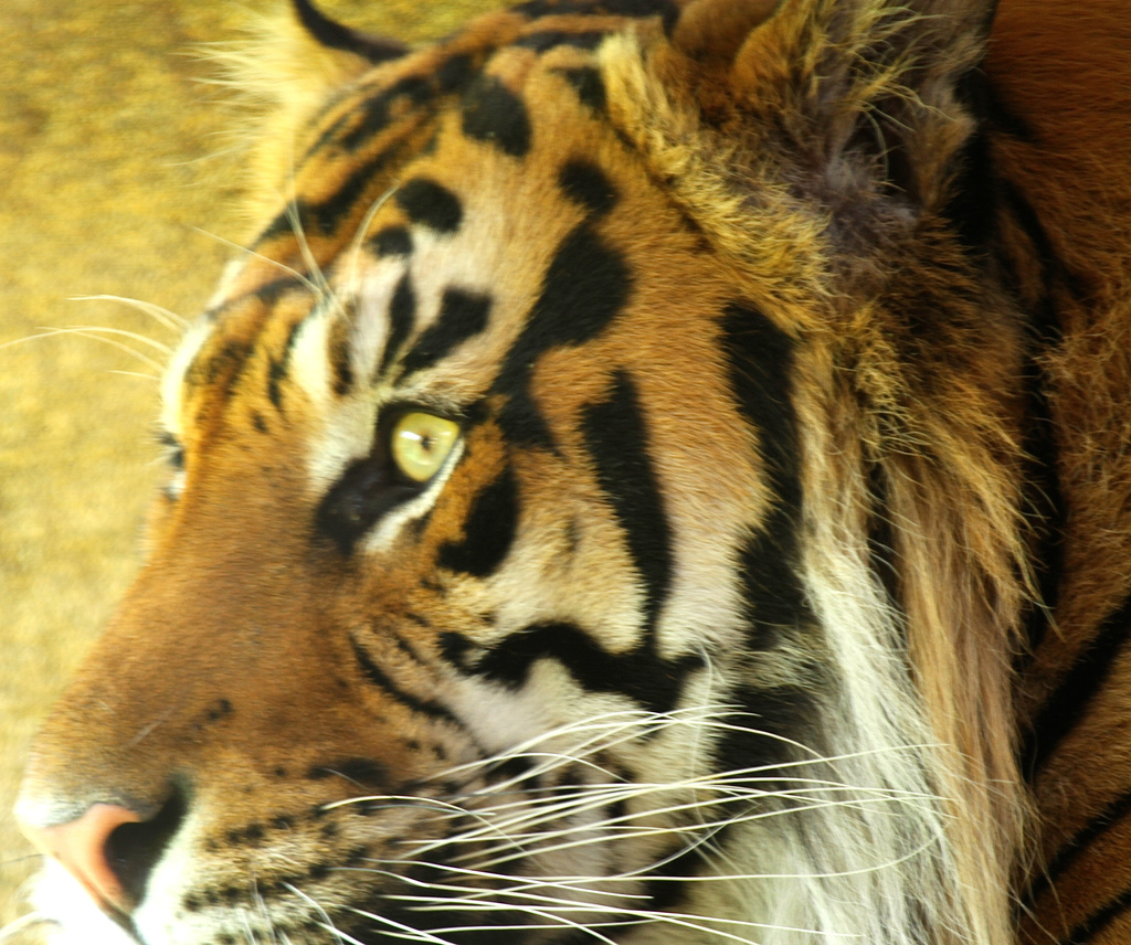 Sumartran Tiger. by padlock
