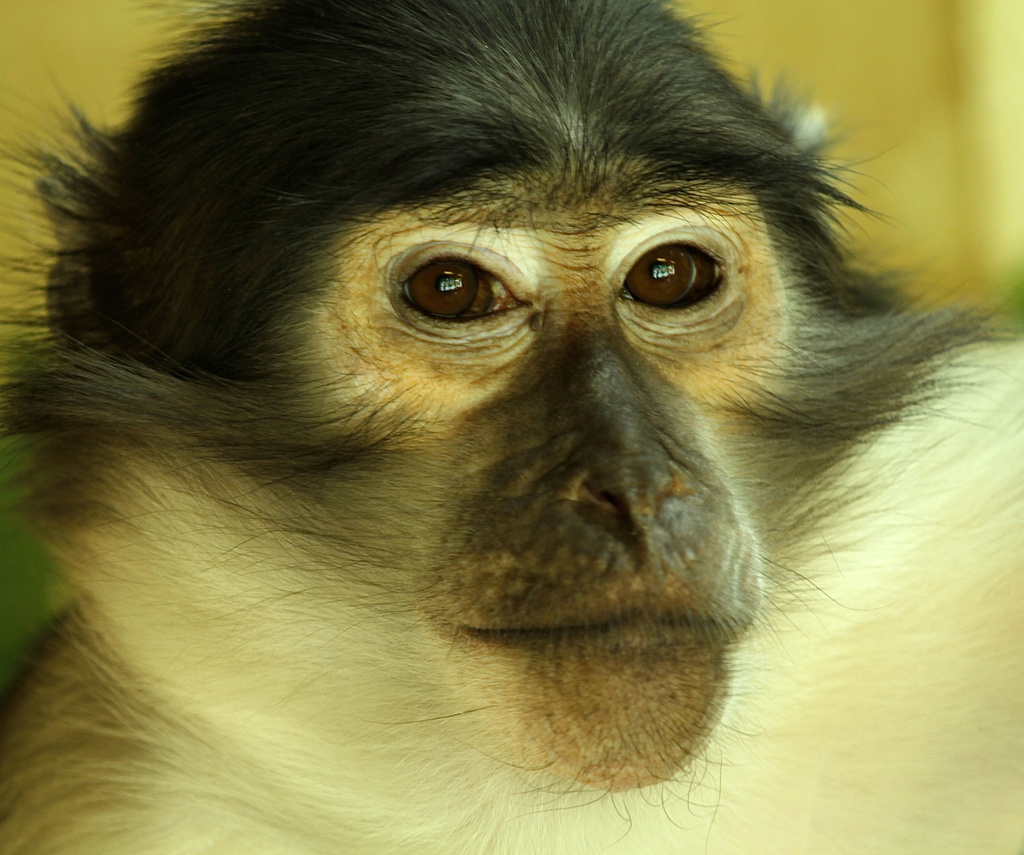 Wise looking Monkey by padlock