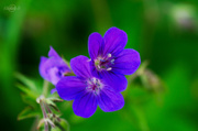 6th Jun 2014 - Woodland geranium