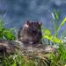 Ratty - 6-06 by barrowlane