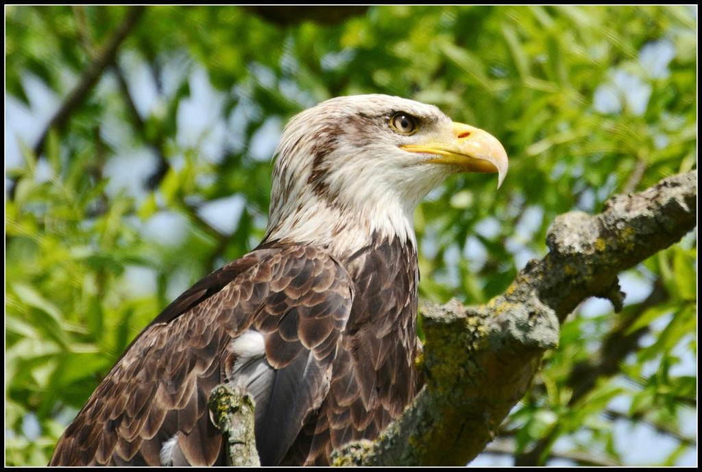 Bald eagle by rosiekind