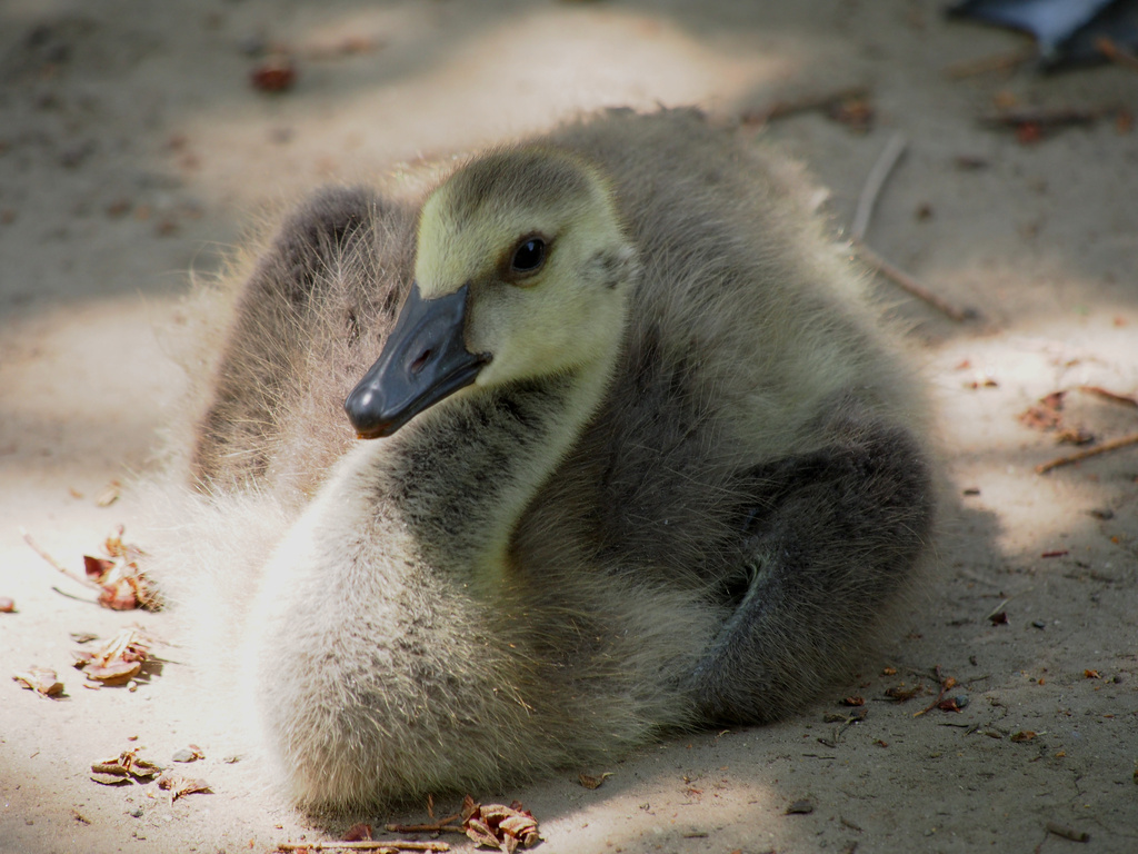 Baby Canada Goose by selkie