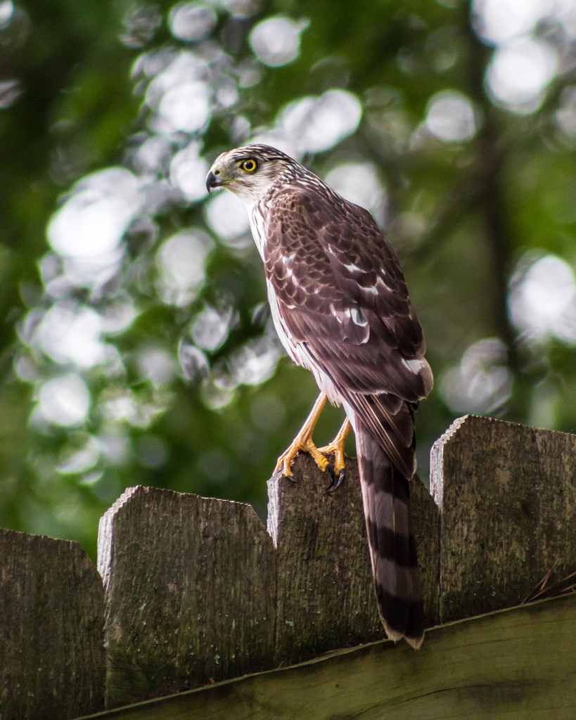 Backyard Visitor! by darylo
