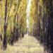 Poplar Avenue by nicolecampbell