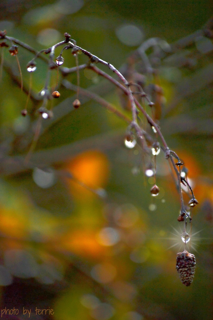 Raindrops on the Silver Birch by teodw