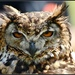 I think this might be a long eared owl - no it's not it's an eagle owl! by rosiekind
