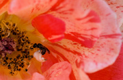 7th Jun 2014 - Variegated Orange Rose and an Ant
