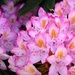 Riotous Rhododendron by khawbecker